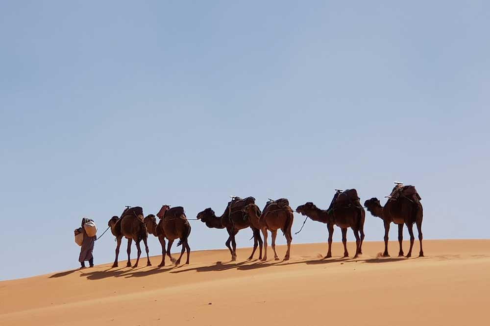 cammelli-sahara